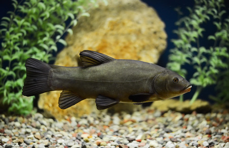 tinca tinca: Tinca tinca, Doctor fish, the tench in aquarium