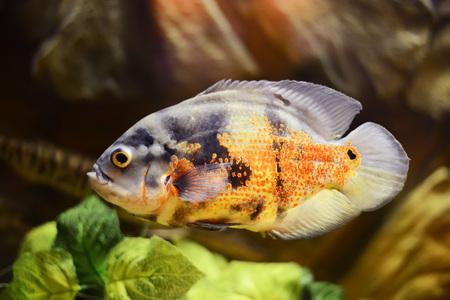 astronotus: Oscar fish, Astronotus ocellatus, Marble fish in aquarium