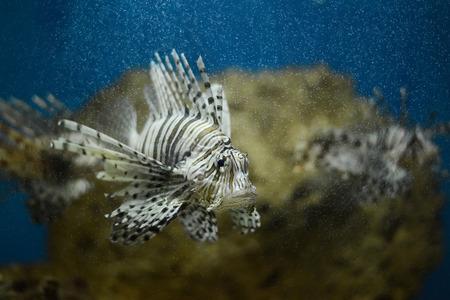 volitans: lionfish in aquatank