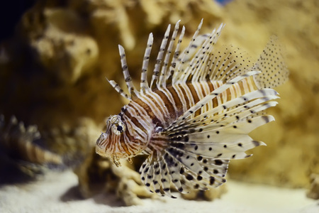 zebrafish: lionfish in aquatank