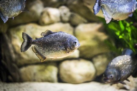 Piranha fish in aquarium