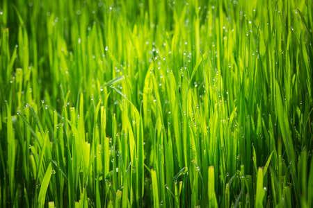 Grass texture. Fresh green spring grass with dew drops background, closeup. Sun. Soft Focus. Abstract Nature spring Background, springtime. Environment concept, lawn, Meadow grass