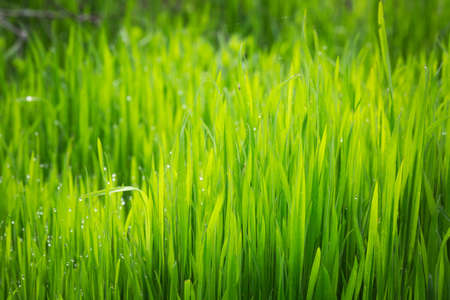 Grass texture. Fresh green spring grass with dew drops background, closeup. Sun. Soft Focus. Abstract Nature spring Background, springtime. Environment concept, lawn, Meadow grass
