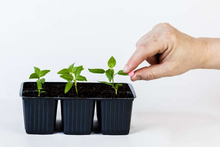 The hands of a farmer giving fertilizer to young green plants. on white isolated background.