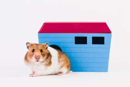 Syrian hamster with house, isolated on white background.