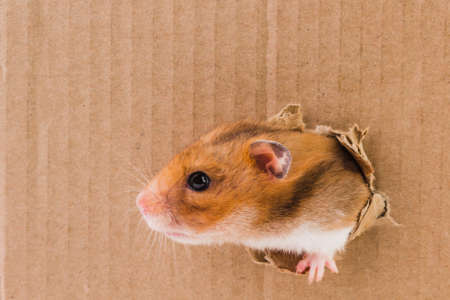 Hamster, crawls into the torn hole on the cardboard. animal. Stock Photo