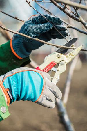 man in gloves cuts branches from a tree, caring for the garden