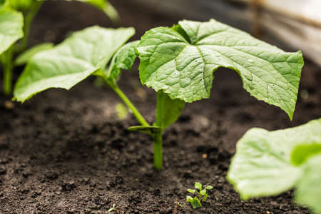 A young sprout of a new cucumber plant on the soil. plant growing 版權商用圖片