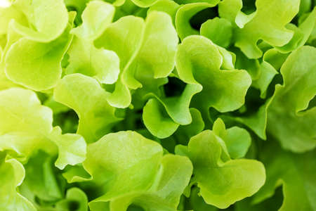 Salad salad leaf background. Fresh Batavia salad. Top view of the whole growth of lettuce on an organic farm. Young green salad. Raw vegetarian food