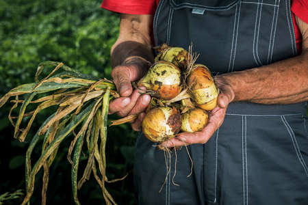 Organic vegetables. Fresh organic onions in the hands of farmers. 版權商用圖片