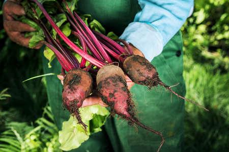 Farmer holding fresh beet. Vegetables harvest. Organic fresh harvested vegetables 版權商用圖片
