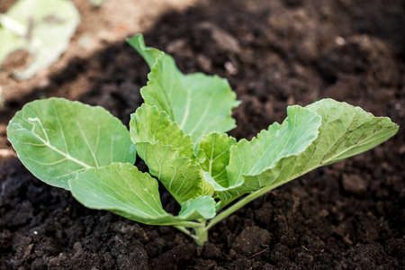 Young sprouts of cabbage. Gardening. Growing cabbage sprouts in the ground.