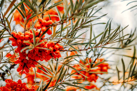 Sea buckthorn grows on a tree close-up (Hippophae rhamnoides). Medicinal plant.