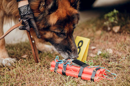 Working German shepherd sniffing explosives. The concept of crime and terrorism