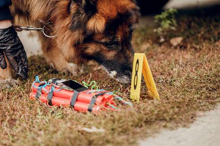 Arbeitender Deutscher Schäferhund, der Sprengstoff schnüffelt. Das Konzept von Kriminalität und Terrorismus