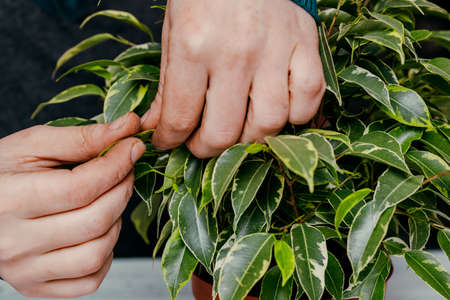Ficus in a pot, in the hands of a woman. Stock Photo