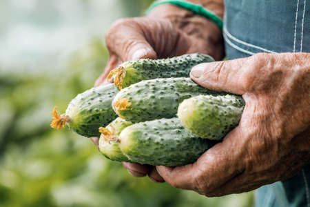 Farmer's hands with a freshly picked cucumber.