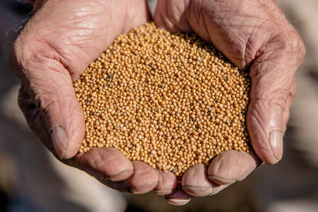 tiny mustard seeds in the farmer's hand