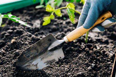 The farmer's hand uses a small garden spatula to loosen the soil Stock Photo