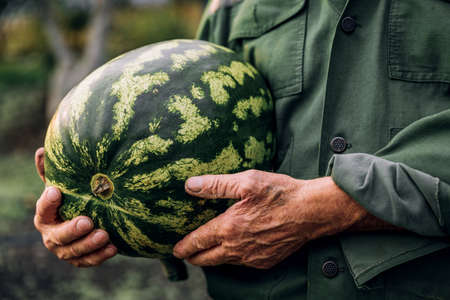 A farmer holds a fresh watermelon. Food, vegetables, agriculture. Standard-Bild