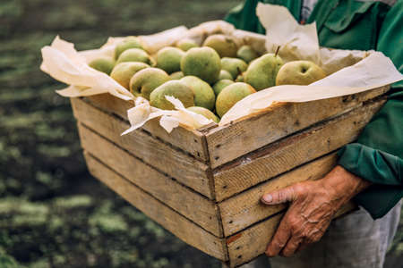 Fresh pears in men's hands. Juicy fragrant pears in a wooden box. Health food. Harvest of pears.