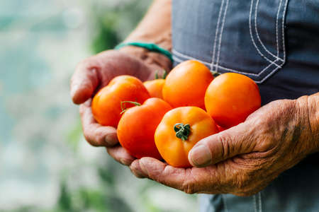 A man holds homemade tomatoes in his hands. The concept of crop