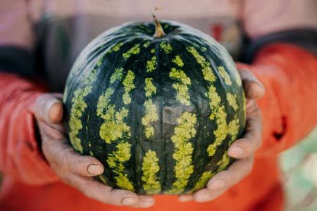 A large striped ripe watermelon in the hands of a male farmer. Concept of growth and rich harvest