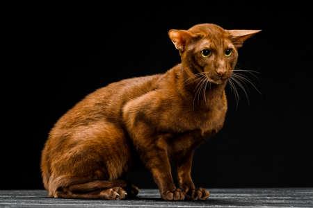 Oriental cat, short-haired pet on a dark background.