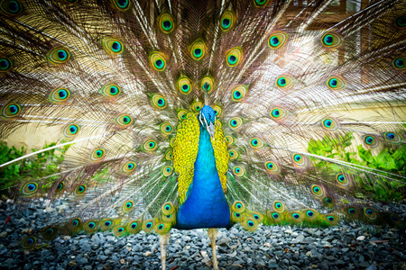 Flaunty Peacock Фото со стока