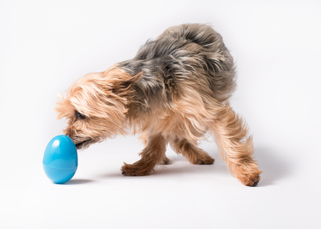 Yorkie dog investigating blue Easter egg Stock Photo