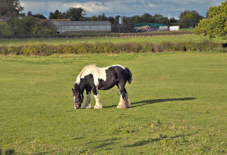 Horse on field. White and Black pony on green grass