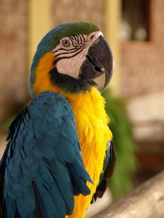 ararauna: Colorful ararauna parrot. Stock Photo