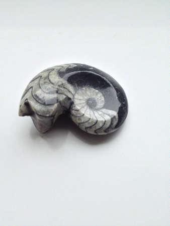 Fossilized Ammonite Фото со стока