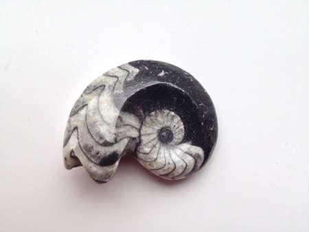 Fossilized Ammonite Spiral Фото со стока