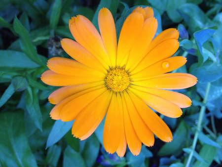 Orange Daisy with dew drop Banco de Imagens