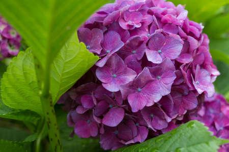 Hydrangea in closeup shot  photo
