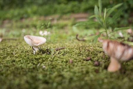 fungoid: mushroom