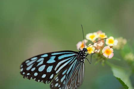 polyommatus: butterfly