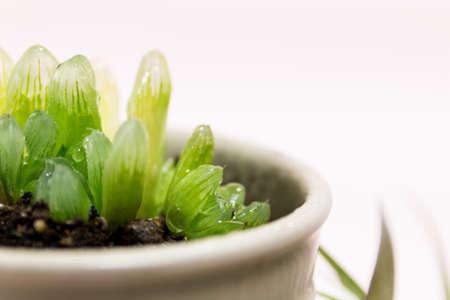 succulent: Succulent