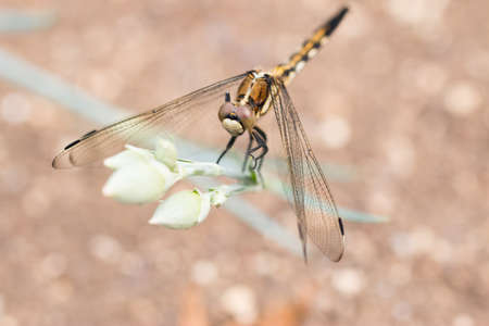 libellulidae: Dragonfly