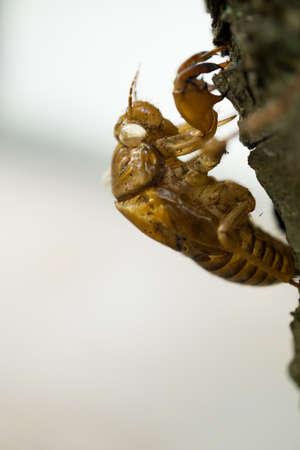 cicada: Cigarra pupa