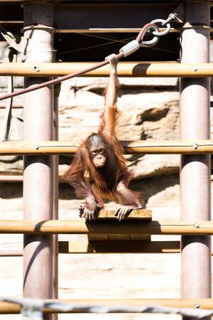 hominid: orangutan Stock Photo