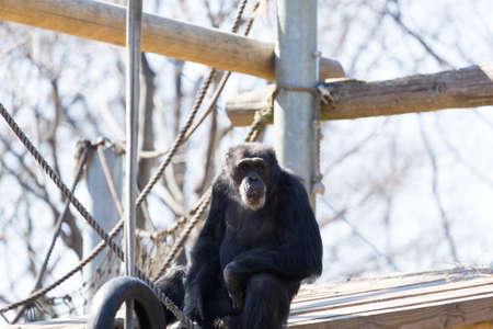 simia troglodytes: Chimpanzee close up