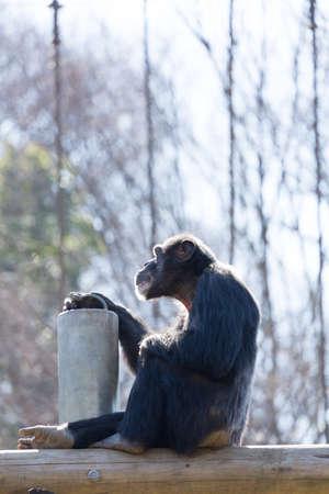 simia troglodytes: Chimpanzee