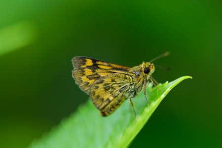 polyommatus: Parnara guttata