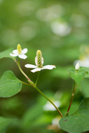 houttuynia cordata Stock Photo
