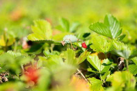 Wild strawberries is very tasty Standard-Bild