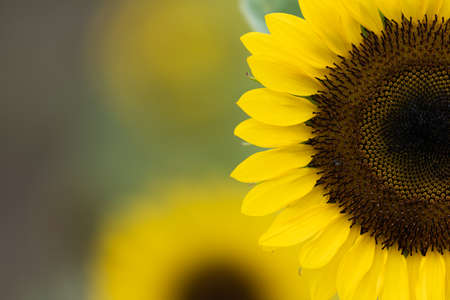 Sunflower is a very beautiful flower