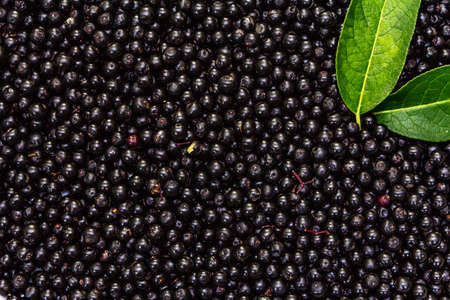 Elderberry background with ripe berries and fresh leaves. Alternative medicine and lifestyle, macro