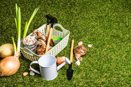 Spring planting and gardening concept. Tools, watering can, fresh tulip bulbs, buckets, decorative stones, dark sand. Green grass background, copy space